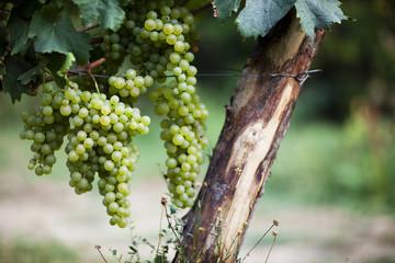 White Wine Grapes In Vineyard in Liguria, Italy