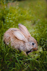 Little rabbit on the grass farm of pets. Sunset. concept is a garden pest, rodent.