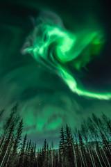 Northern Lights Spiral Shape over trees in Alaska