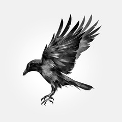 drawn attacking isolated bird crow