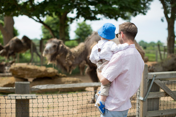 Back view of young father who keeps a little son in a zoo and they look at camels