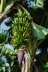 Flower of a bunch of bananas against green leaves at plantation, canary bananas, Tenerife