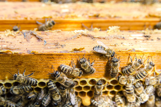 Bees on honeycombs in a hive
