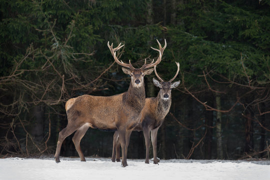 Father And Son: Two Generations Of Noble Deer. Two  Red Deer (Cervus Elaphus ) Stand Next To The Winter Forest. Winter Wildlife Story With Deer And Spruce Forest. Two Stag Close-Up. Belarus Republic.
