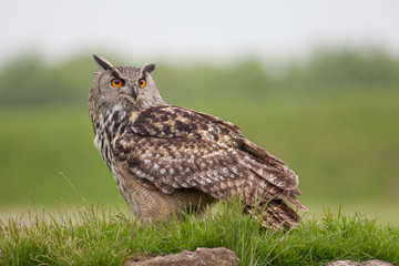 Eagle owl standing on grassy mound. Bird of prey nature image with copy space.
