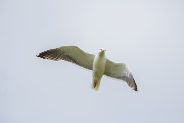 Gull flying with spread wings, in front
