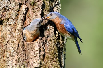 Fotoväggar - Pair of Eastern Bluebird (Sialia sialis) by a nest hole