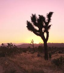 Sunset in the Desert on a Joshua Tree
