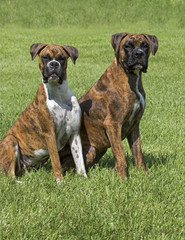 Two Boxer puppy dogs pose for a portrait in a grassy meadow.