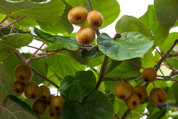 Kiwi fruit on the branch