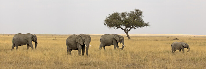 Group of elephants in Serengeti national park, Tanzania