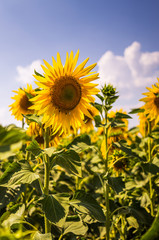 Rural landscape. Blossoming sunflowers