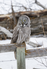 Great grey owl on fence post hunting food