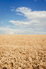 Corn field in summer just before harvest