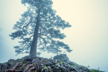 Fantasy foggy forest with giant pine in front