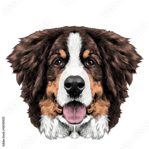 The Dog Head Is Symmetrical Front Bernese Mountain Sketch Vector Color Drawing