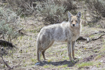 Light colored coyote standing in grass