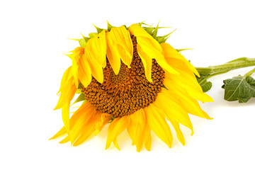 Sunflower against white background