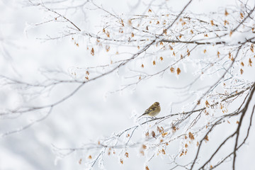 Common chaffinch perching on branch in Winter