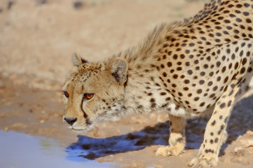 CHEETAH (Acinonyx jubatus)  Cheetah cautiously approaches a waterhole in the Kalahari desert