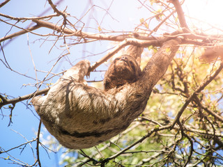Three-toed sloth, Bradypus variegatus, hanging from a branch, Santa Cruz, Bolivia, South America
