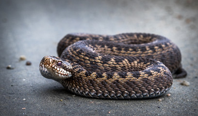 Snake, Common European Adder, Vipera berus