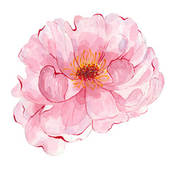 Watercolor hand painted flower pink peony isolated on white background