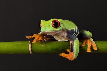 A close photograph of a red eyed tree frog balancing on a bamboo shoot against a black background