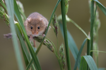 A small harvest mouse climbing up shoots of grass looking forward towards the viewer