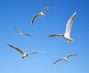Wall Mural - Seagulls flying on the background of blue sky