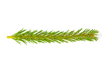 Sprig of pine on white background