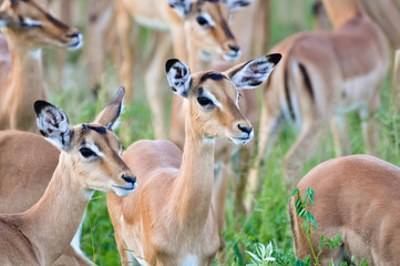 Pack of Impalas