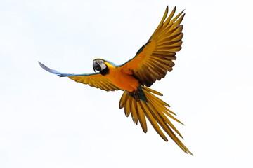 Perroquet en vol Ara Ararauna jaune et bleu (fond blanc)