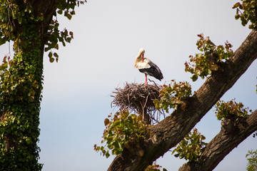 Two storks are sitting in the nest