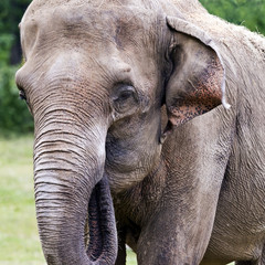 Head of elephant (Asian or Asiatic elephant)