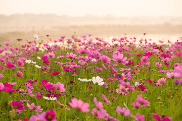 Cosmos flower field while sunrise.