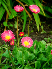 Little pink daisies on a flower bed