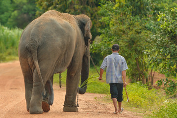Elephant and Man hometown on the road ,Surin Thailand