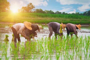 Farmers transplanting rice seedlings.