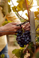 close-up of farmers hands with blue grapes.