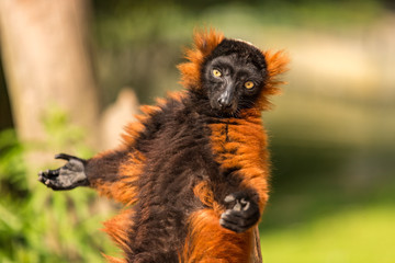 A red ruffed lemur in the Artis Zoo in Amsterdam.