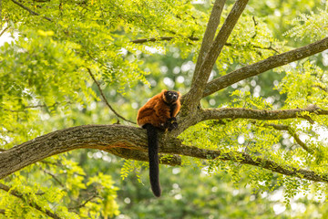 Garden Poster Monkey A red ruffed lemur in the Artis Zoo in Amsterdam.