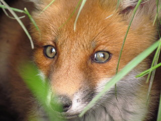 Small fox staring into the distance