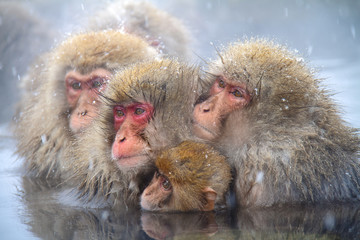 Group of Japanese macaque huddling in the water