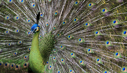male peacock showing off its tail