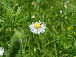 flor blanca boton amarillo