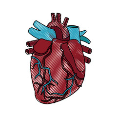 anatomy of the human heart medical