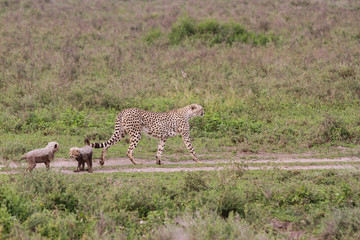 Cheetahs in Serengeti