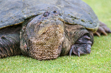 Snapping Turtle Close Up Portrait