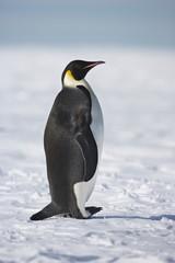 Emperor Penguin (Aptenodytes forsteri), Weddel Sea, Antarctica